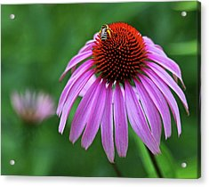 Acrylic Print featuring the photograph Coneflower by Judy Vincent