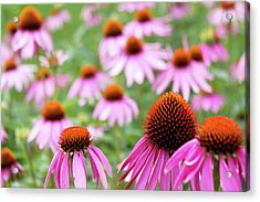 Coneflowers Acrylic Print by David Chandler