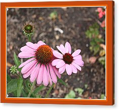 Acrylic Print featuring the photograph Coneflowers by Susan Alvaro