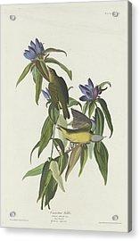 Connecticut Warbler Acrylic Print