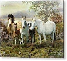 Connemara Ponies Acrylic Print
