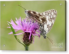 Contact - Butterflies On The Bloom Acrylic Print by Michal Boubin