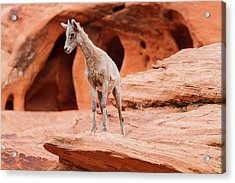 Contemplating  Acrylic Print by James Marvin Phelps