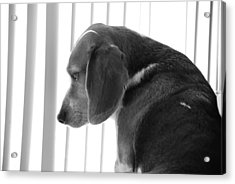 Acrylic Print featuring the photograph Contemplative Beagle by Jennifer Ancker