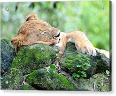 Contented Sleeping Lion Acrylic Print by Richard Bryce and Family