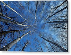 Converging White Birches Acrylic Print