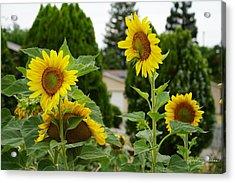 Conversing Sunflowers Acrylic Print