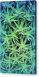 Acrylic Print featuring the photograph Cool Blue Aloevera  by Aimee L Maher Photography and Art Visit ALMGallerydotcom