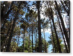 Cool Pines Acrylic Print by Daniel Ness