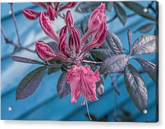 Acrylic Print featuring the photograph Cool Sunset Budding Azalea by Aimee L Maher Photography and Art Visit ALMGallerydotcom