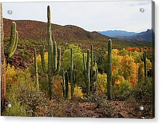 Coon Creek With Saguaros And Cottonwood, Ash, Sycamore Trees With Fall Colors Acrylic Print