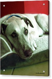 Cooper Goes Cute Artwork Acrylic Print by Miss Pet Sitter