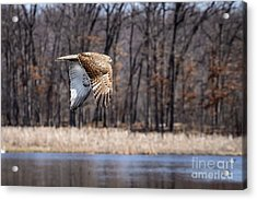 Coopers Hawk 4 Acrylic Print by Patrick Shupert