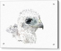 Coopers Hawk Chick Acrylic Print