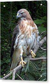 Coopers Hawk Acrylic Print by Dave Mills
