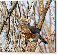 Acrylic Print featuring the photograph Cooper's Hawk by Donna Kennedy