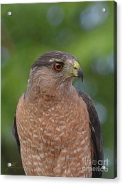 Acrylic Print featuring the photograph Cooper's Hawk II by Suzette Kallen