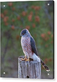 Coopers Hawk Perched Acrylic Print