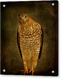 Coopers Hawk Acrylic Print by Sandy Keeton