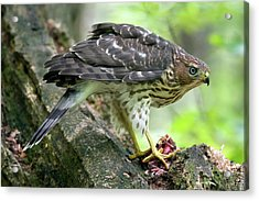 Acrylic Print featuring the photograph Coopers Hawk by Timothy McIntyre