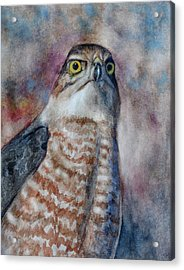 Coopers Hawk Wc Acrylic Print