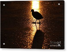 Coot Walks On Golden Ice  Acrylic Print