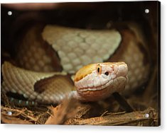 Acrylic Print featuring the digital art Copperhead by Chris Flees