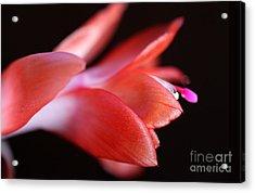 Coral Christmas Cactus Acrylic Print by Karen Adams