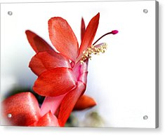 Coral Christmas Cactus With White Background Acrylic Print by Karen Adams