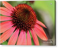 Coral Cone Flower Too Acrylic Print by Sabrina L Ryan