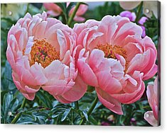 Coral Duo Peonies Acrylic Print