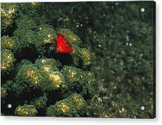 Coral Hawkfish Hiding In Coral Acrylic Print by James Forte