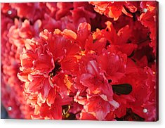 Coral Pink Azaleas Acrylic Print by Jan Amiss Photography