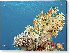 Coral Reef Eco System Acrylic Print by Hagai Nativ