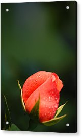 Coral Rose On Green Acrylic Print
