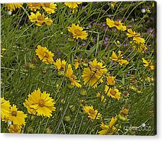 Acrylic Print featuring the photograph Coreopsis And Mexican Heather by Kerry Beverly