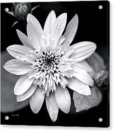 Acrylic Print featuring the photograph Coreopsis Flower Black And White by Christina Rollo