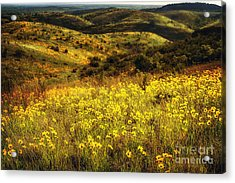 Coreopsis In The Arbuckles Acrylic Print by Tamyra Ayles
