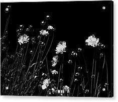 Coreopsis Acrylic Print