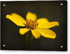 Coreopsis Verticillata Acrylic Print