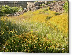 Corepsis Field Of Dreams Acrylic Print by Iris Greenwell