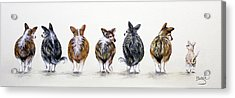 Corgi Butt Lineup With Chihuahua Acrylic Print by Patricia Lintner