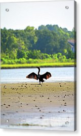 Cormorant At Topsail Beach Acrylic Print