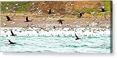Cormorant Flight In Frenzy Acrylic Print by Gus McCrea