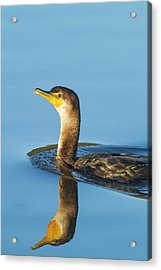 Cormorant Reflection Acrylic Print
