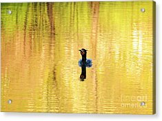 Double Crested Cormorant With Crazy Hair Acrylic Print by Charline Xia