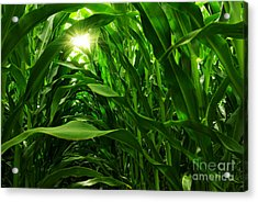 Corn Field Acrylic Print by Carlos Caetano