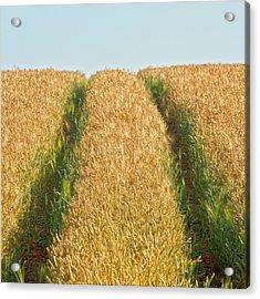 Corn Field Acrylic Print by Heiko Koehrer-Wagner