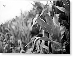 Acrylic Print featuring the photograph Corn In Black And White by Sandy Adams