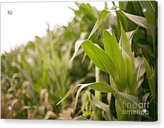 Acrylic Print featuring the photograph Corn by Sandy Adams